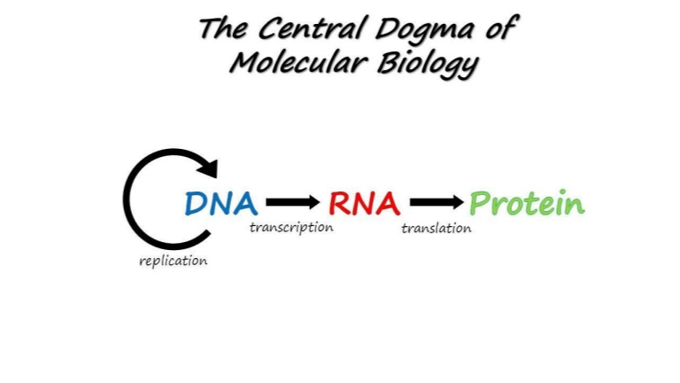 The circle of the central dogma of biology